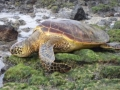 350px-Green_Sea_Turtle_Dec_05[1]