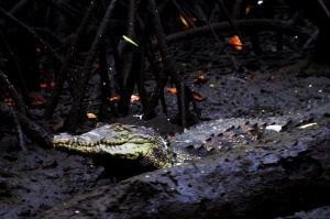 Zone humide, Ramsar, Cooperation internationale, Mangrove, Crocodile